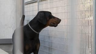 Der Hund soll wie ein Dobermann ausgesehen haben, sagt eine Augenzeugin. (Symbolbild)