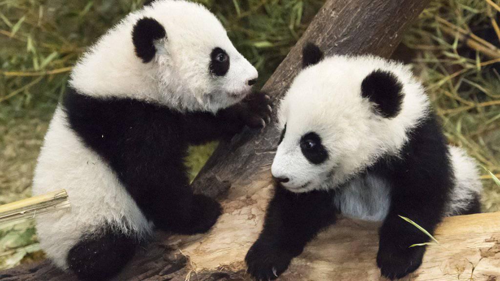 Die Panda-Zwillinge aus dem Tiergarten Schönbrunn in Wien sind im Wettstreit um die süssesten Tiere ganz vorne mit dabei.