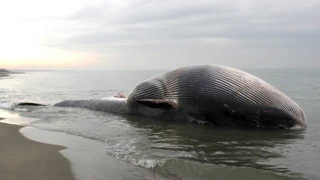 Der 25 Meter lange Meeressäuger