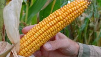 Das Walliser Kantonsparlament will keine gentechnisch veränderten Organismen wie zum Beispiel diesen Gen-Mais, im Wallis. (Archivbild)