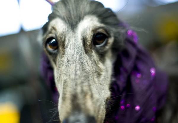 Dieser Greyhound zieht ein langes Gesicht.