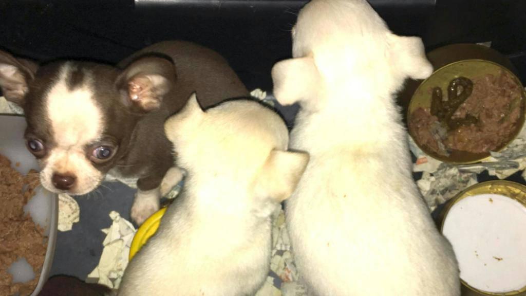 Illegal in die Schweizer geschmuggelt: Die Chihuahua-Welpen waren in einer Tiertransportbox im Auto versteckt, das von den Grenzwächtern bei Laufenburg AG kontrolliert wurde.