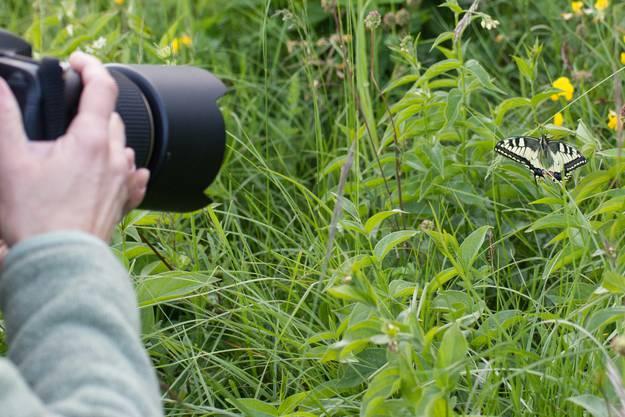 Der Schwalbenschwanz wusste sich in Szene setzen - zur Freude der Bilderjäger