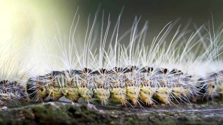 Die Brennhaare der Eichen-Prozessionsspinner-Raupen sind für Menschen und Tiere gefährlich.