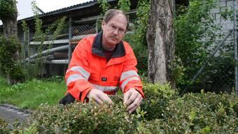 Obwohl Stadtgärtner Siegfried Peier den Buchsbaum mit Insektizid behandelt hat, findet er bereits wieder Buchsbaumzünsler. Kel