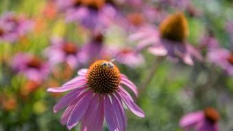 Aus dem Roten Sonnenhut wird der Wirkstoff Echinacea gewonnen, der anti-virale Wirkung hat.
