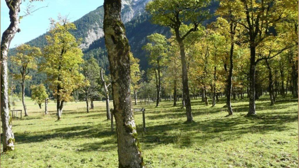 Eine Bergahornweide am Grossen Ahornboden in Tirol, Österreich.