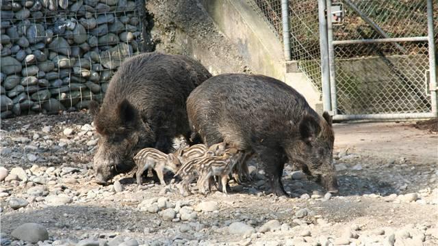 Die Familie der Schwarzkittel im Aarauer Wildpark Roggenhausen. (Archivbild)