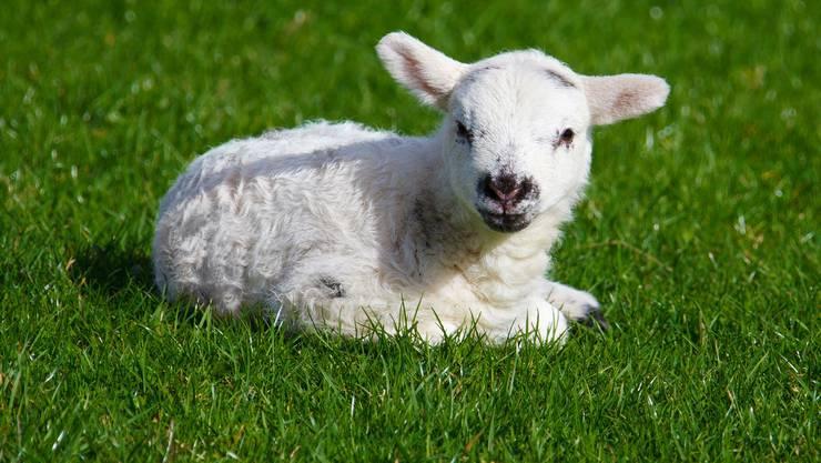 Schafe und Weltherrschaft? Jaaaa genau.