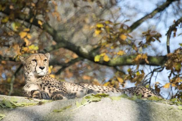 Der Leopard geniesst auch im Winter die Sonnenstrahlen.