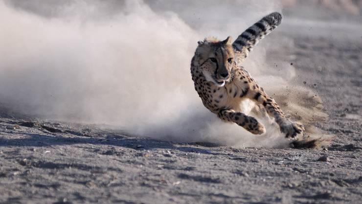 Der schnelle Gepard verliert seinen  Lebensraum in  Afrika.