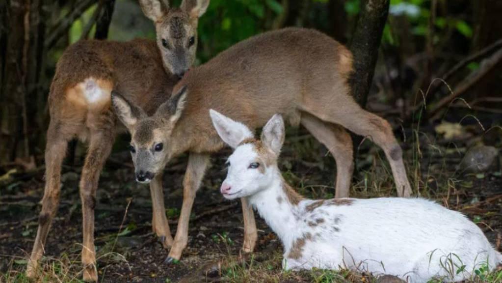 Das weisse Reh mit seinen Artgenossen im Natur- und Tierpark Goldau SZ.