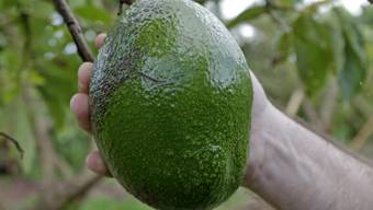 Avocados entkernen ist offenbar eine gefährliche Angelegenheit. (Archivbild)
