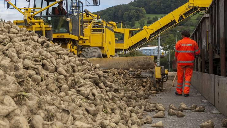 Im Reinacher Unterdorf werden Zuckerrüben auf Bahnwagen verladen. 45 Tonnen pro Wagen. Peter Siegrist