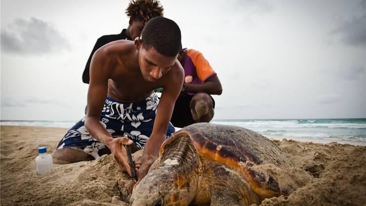 Von Juni bis Oktober überwachen lokale Ranger und internationale Volontäre die Nistaktivität von Meeresschildkröten. Thomas Reischig