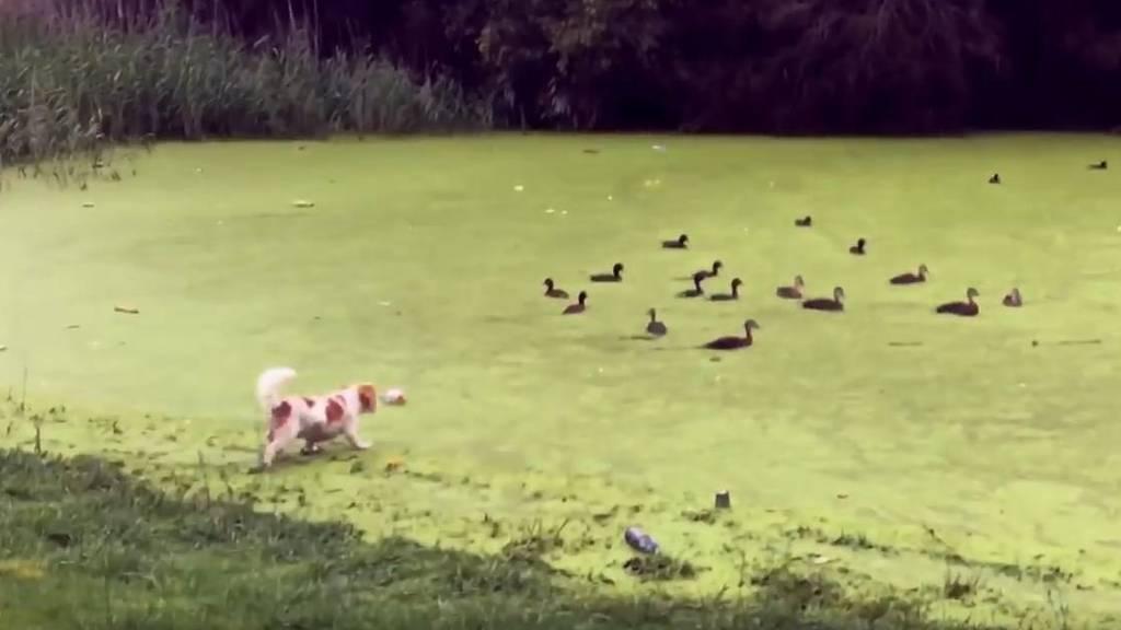 (Screenshot macraptor56) Hund Digby lernt, wo die Wiese aufhört