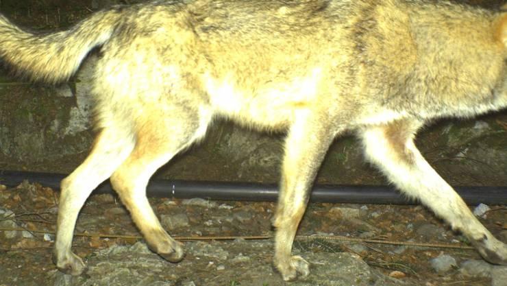 Der zum Abschuss freigegebene Wolf mit der Bezeichnung M68 tappte im April in Seelisberg in eine Fotofalle. Bei dem Tier handelt es sich um einen aus Italien eingewanderten Rüden, der vorher noch nie in der Schweiz aufgetaucht war.