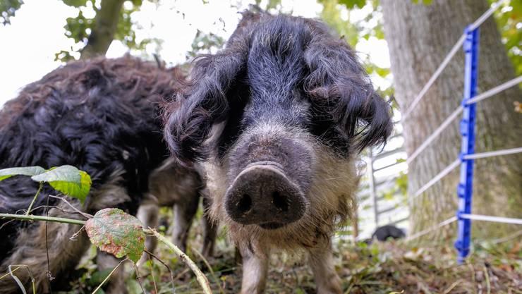 Florian Neumann pflegt das Naturschutzgebiet Ley in Reinach mit Wollschweinen.