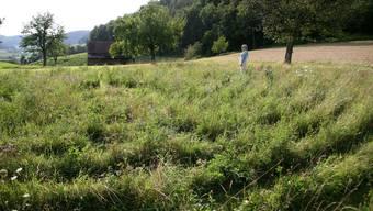 Hoch gewachsenes Gras: Das Labyrinth in Remigen ist nur schwer zu erkennen. (Bild: Peter Belart)