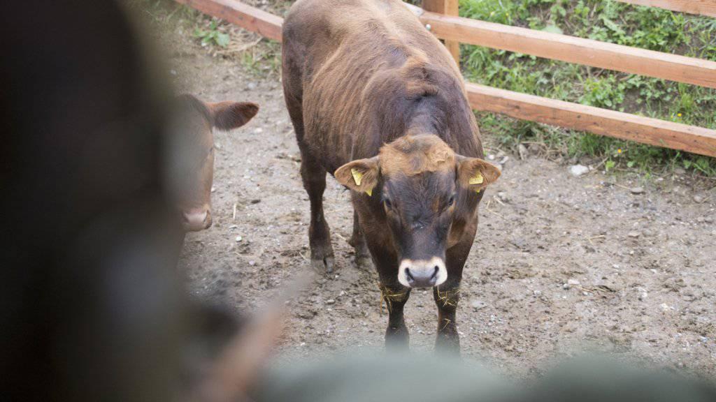 Der Züricher Landwirt Nils Müller darf weiterhin von seinem Hochsitz aus seine Rinder ins Visier nehmen. Das kantonale Veterinäramt hat die entsprechende Bewilligung verlängert. Archivbild