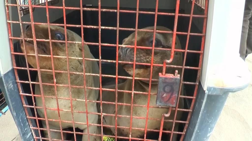 Sechs kleine Seelöwen freigelassen