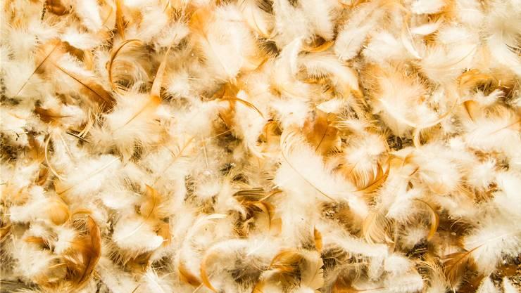 Zu Tierfutter oder Dünger werden die Federn schon verarbeitet. Nun tüfteln Forscher an neuen Kunststoffen.