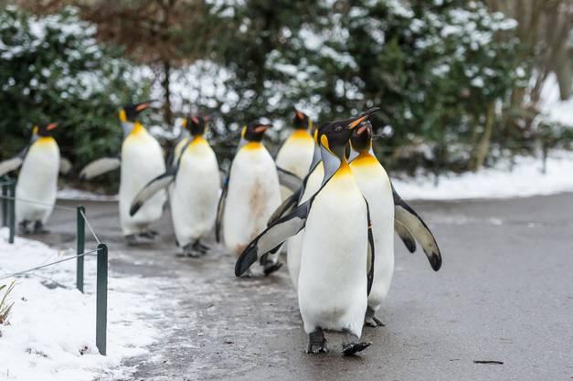 Die Pinguine geniessen den Auslauf.