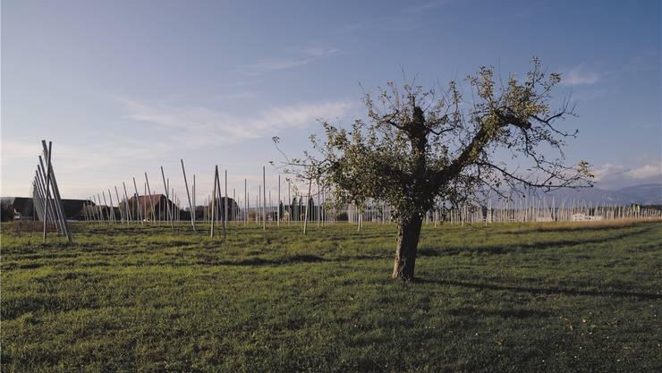 940 wachsende Kirschbäume stehen in Reih und Glied auf einer Hektare Land am nördlichen Dorfeingang von Bätterkinden.