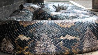 Die Schlange, die den Arbeiter erwürgte und verschluckte war eine Netzpython - diese gehören zu den grössten Schlangen der Welt. (Symbolbild)