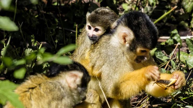 Das erste Mal seit zwei Jahren verzeichnet der Zoo Basel wieder Nachwuchs bei Äffchen.
