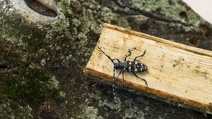 Weiterhin eine Gefahr für den Schweizer Wald: Eingeschleppte Schädlinge wie der Asiatische Laubholzbockkäfer (Archiv).