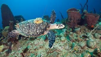 Mit den Ortungsgeräten verfolgen die Forscher auch die Routen von Echten Korettschildkröten.Sciencephoto