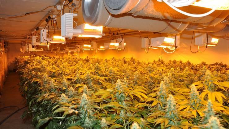 Die Indoor-Anlage beherbergte 1600 Hanfpflanzen. (Symbolbild)