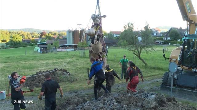 Kuh sorgt für archäologischen Fund