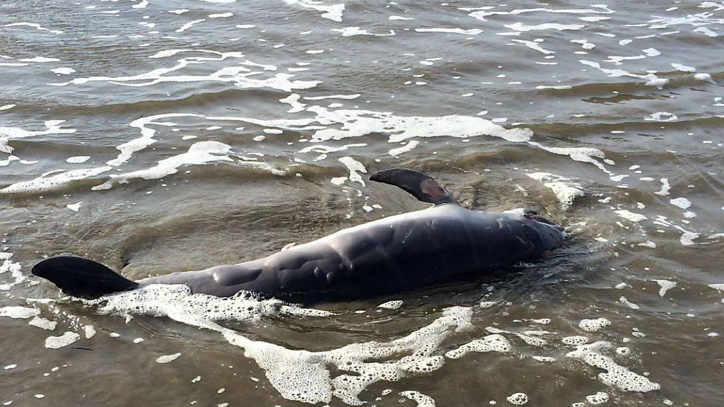 Am Strand verendet: Delfin überlebt Foto-Session in Argentinien nicht. (Symbolbild)