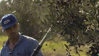 Oliven-Ernte in Magliano: Das italienische Parlament verschärft die Gesetze gegen die Ausbeutung von Saisonarbeitern in der Landwirtschaft. (Symbolbild)