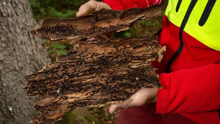 Eine schwerwiegende Folge der Trockenheit auf den Wald: Schädlinge wie der Borkenkäfer befallen Bäume wie diese Eiche hier. Das Holz stirbt ab.