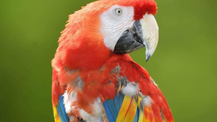 Kleines Gehirn, aber oho: Besonders Papageien und Rabenvögel haben in ihrem Vorderhirn eine hohe Dichte an Nervenzellen. (Symbolbild)