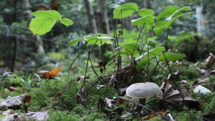 Ein hübscher kleiner Rotfussröhrling duckt sich hinter Brombeeren …