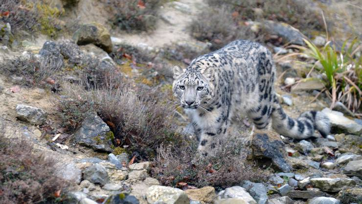 Schneeleopardenweibchen Saida lebt seit letztem Dezember im Zoo Zürich.