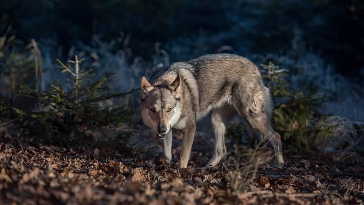 Wölfe dürfen geschossen werden, wenn sie trotz Herdenschutz erheblichen Schaden an Nutztieren angerichtet haben.