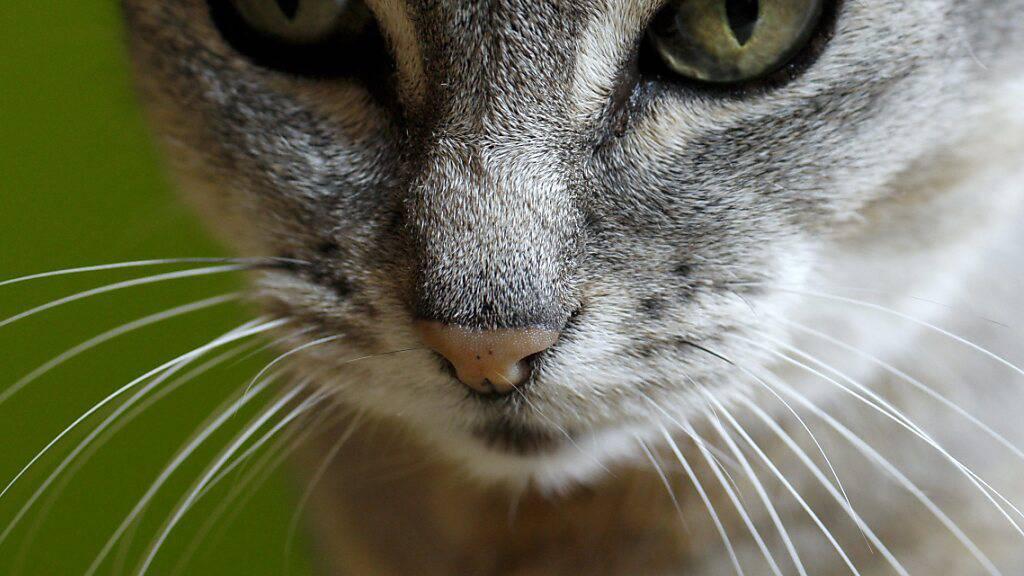 Gen-Schere: Zürcher Forscher machen Katzen-Parasiten unfruchtbar
