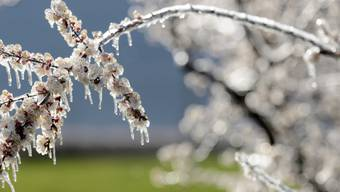Schutzmantel aus Eis an einem Aprikosenbaum in Fully VS: Walliser Obstbauern haben mit der Beregnung ihrer Bäume einige Schäden an Kern- und Steinobstkulturen verhindern können.
