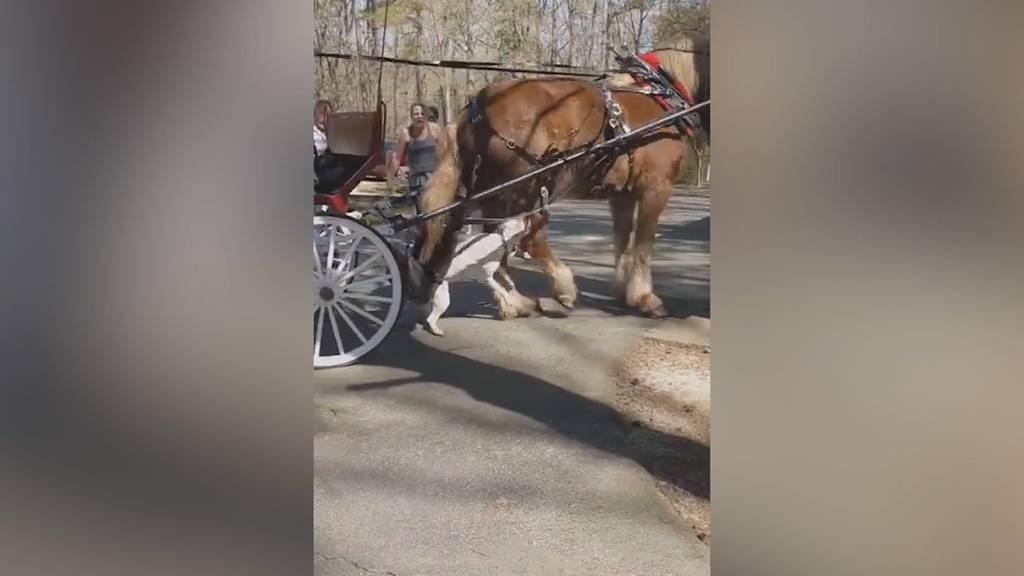 Pitbull greift Pferd während Kutschenfahrt an