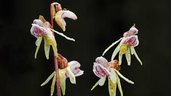 Nur mit viel Glück zu finden: die Blüten der Geisterorchidee.