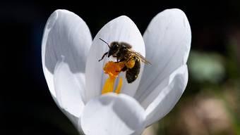 Vor zwei Jahren wurde im Kanton Aargau das Projekt «Bienenfreundliche Landwirtschaft» gestartet. (Symbolbild)