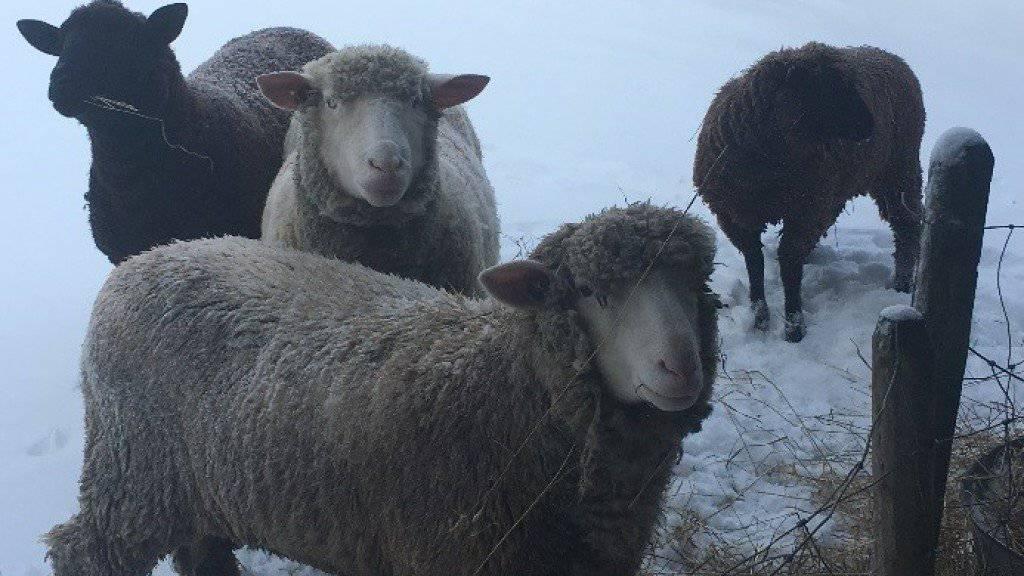 Auf einer Weide im solothurnischen Flumenthal bei der katholischen Kirche sind vier Schafe abhanden gekommen. Nach tagelanger Suche wandte sich der Besitzer nun an die Polizei.