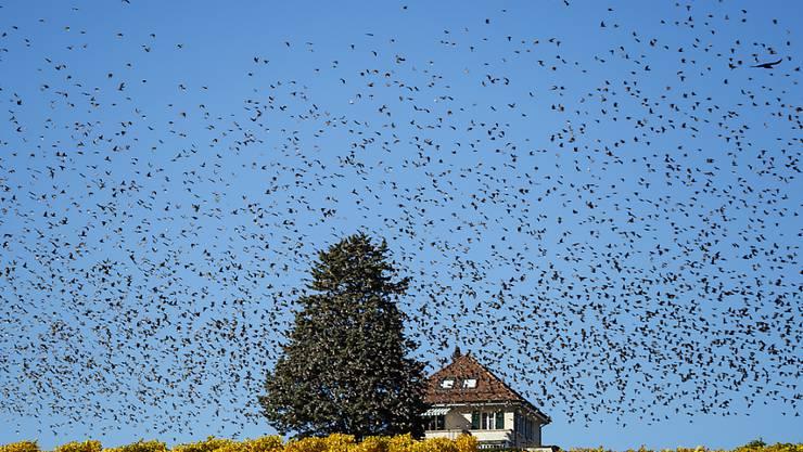 Ein Vogelschwarm über den Reben am Genfersee. Der Klimawandel dürfte auch das Verhalten der Zugvögel beeinflussen. Die lang anhaltende Hitze und die Trockenheit haben aber den Flugplan kaum verändert. (Archivbild)