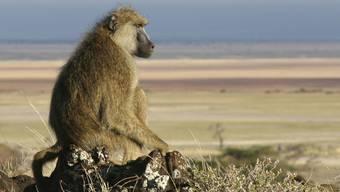 Das Leben an der Spitze einer Affen-Gemeinschaft ist manchmal einsam