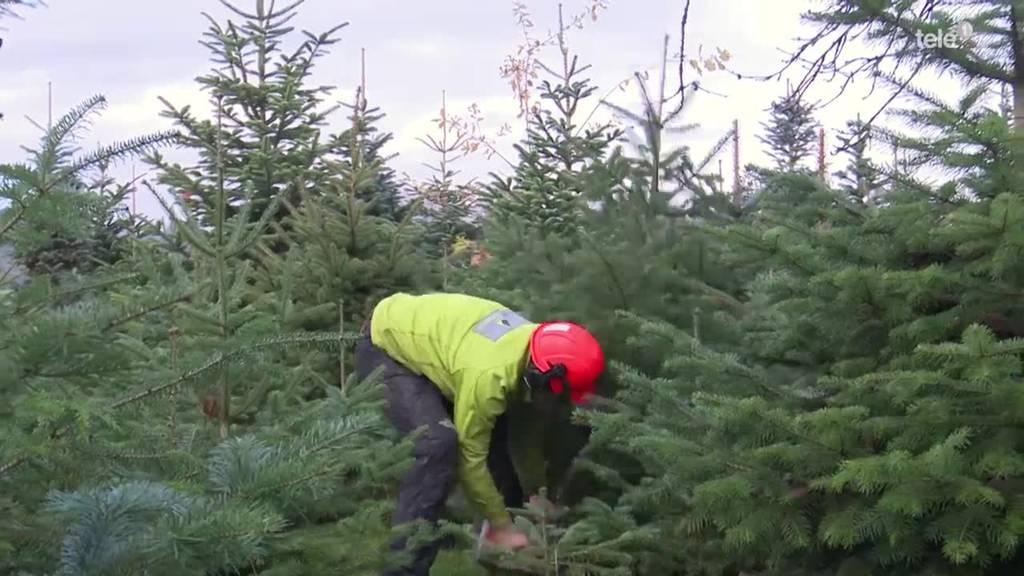 Von der Plantage ins Wohnzimmer: Der Weihnachtsbaum
